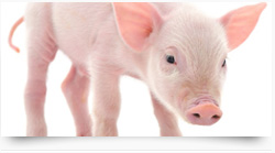 Feed additives - Premixes for pigs